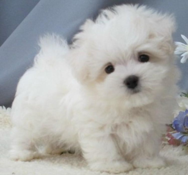 Park Art My WordPress Blog_Maltipoo Puppies For Sale In Southern California