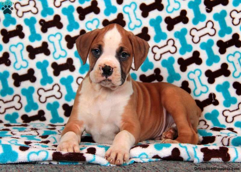 Park Art|My WordPress Blog_Boxer Dogs For Sale In Nc