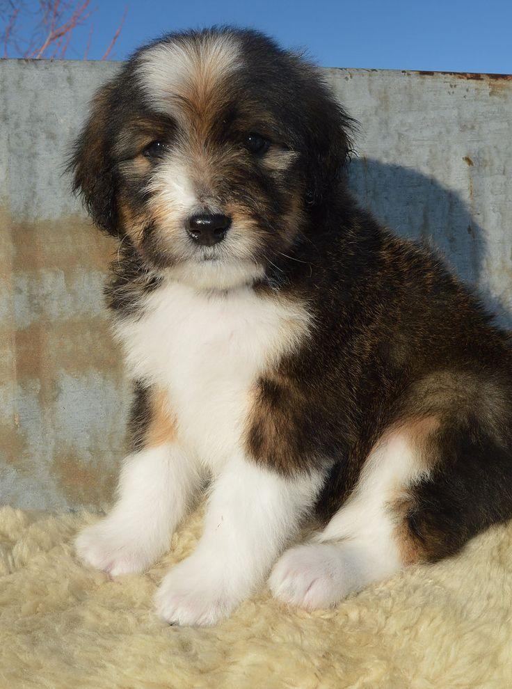 Park Art My WordPress Blog_Bernedoodle Puppies Immediately Available California
