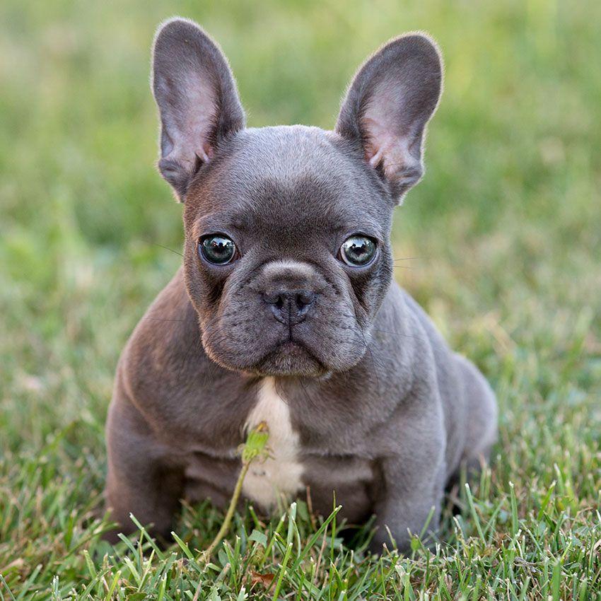 Park Art My WordPress Blog_Long Haired French Bulldog For Sale Australia