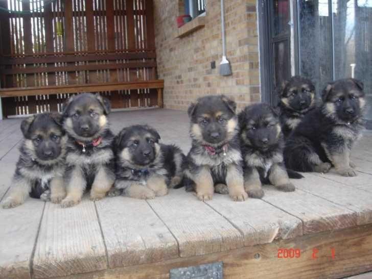 Park Art|My WordPress Blog_King Shepherd Puppies For Sale Nc