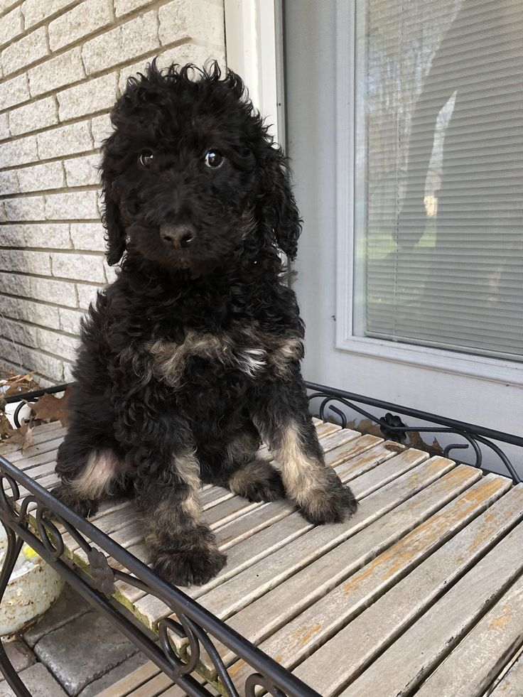 Park Art|My WordPress Blog_Bernedoodle Puppies Immediately Available Nj