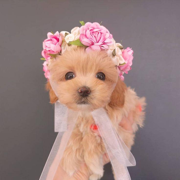 Park Art|My WordPress Blog_Teacup Poodle Puppies For Sale Near Me Under 300 Dollars