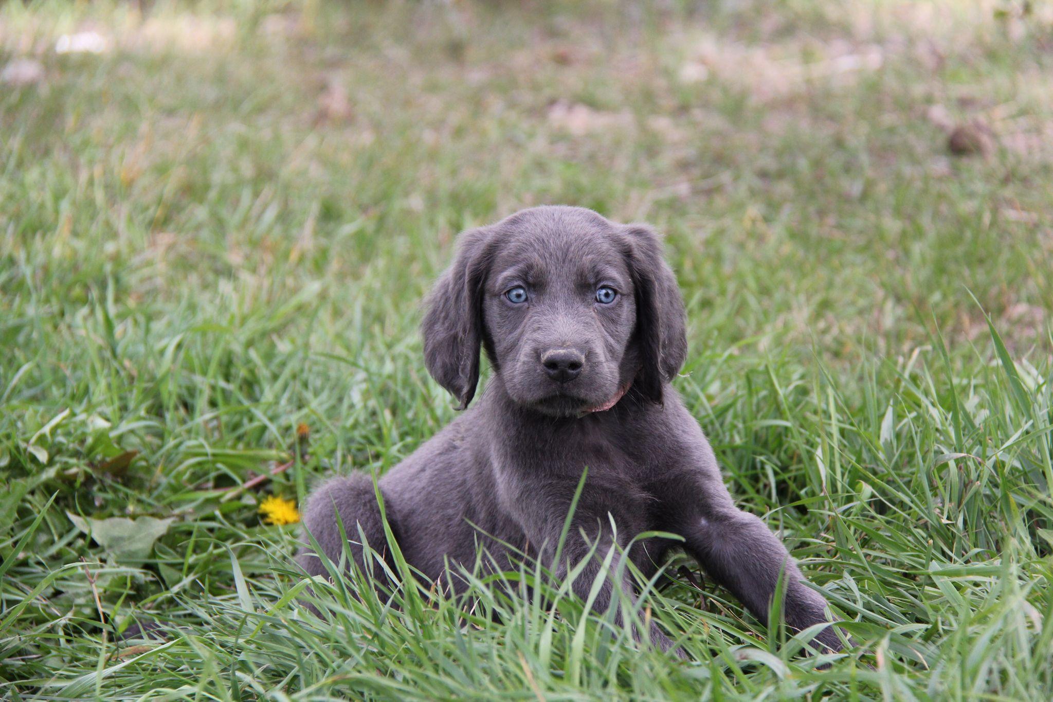 Park Art|My WordPress Blog_Blue Weimaraner Puppies For Sale Colorado