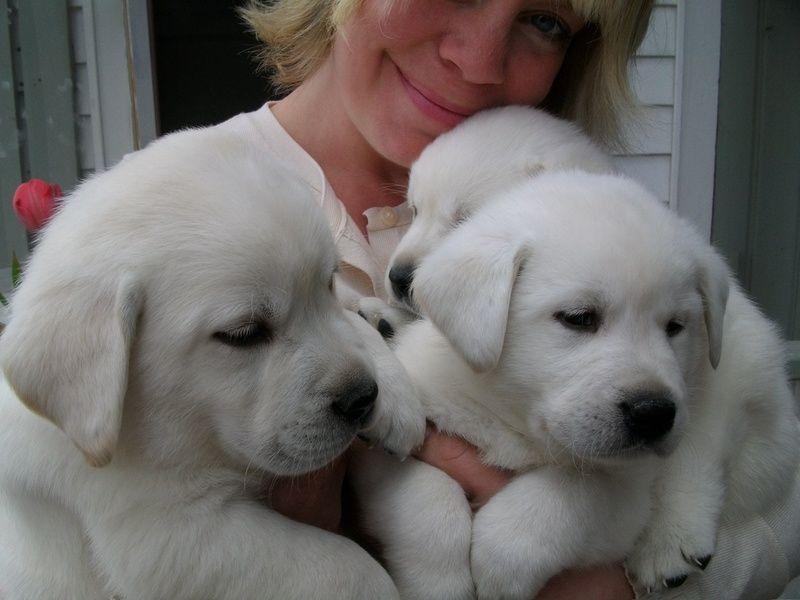 Park Art|My WordPress Blog_British Lab Puppies For Sale Mn