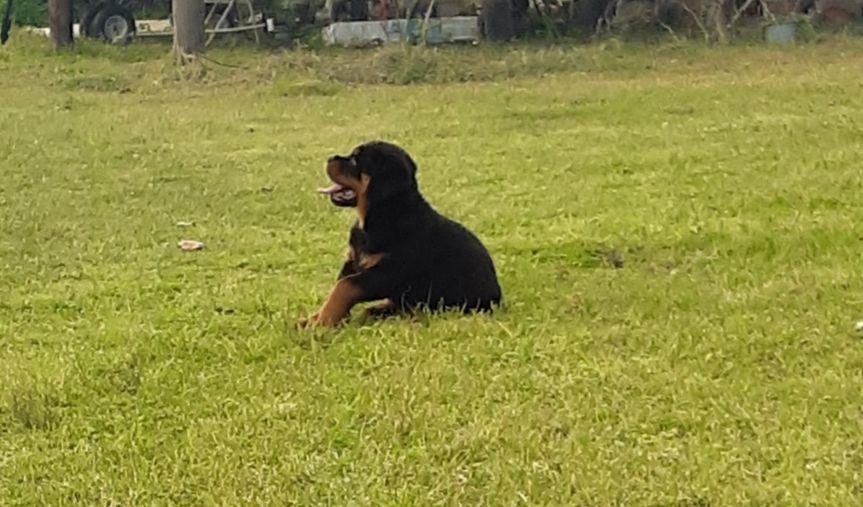 Park Art|My WordPress Blog_Rottweiler Puppies For Sale In Texas Dallas