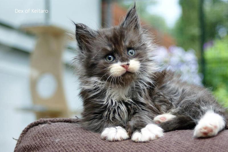Park Art My WordPress Blog_Maine Coon Kittens For Sale Craigslist Illinois