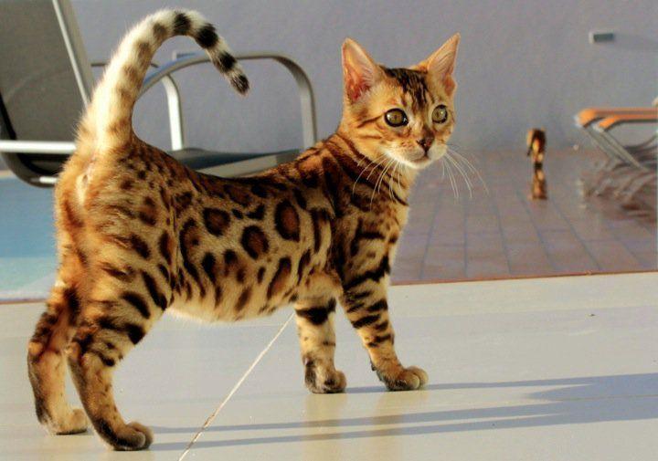 Park Art|My WordPress Blog_Toyger Kittens For Sale Texas