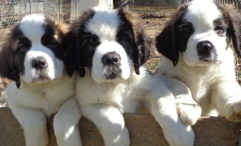 Park Art|My WordPress Blog_St Berdoodle Puppies For Sale Michigan
