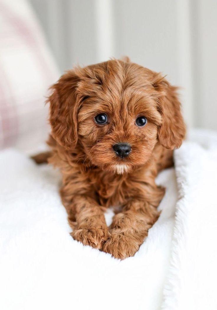 Park Art|My WordPress Blog_Cavapoo Puppies For Sale In North Texas