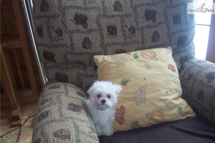 Park Art My WordPress Blog_Maltipoo Puppies For Sale In Pittsburgh Pa