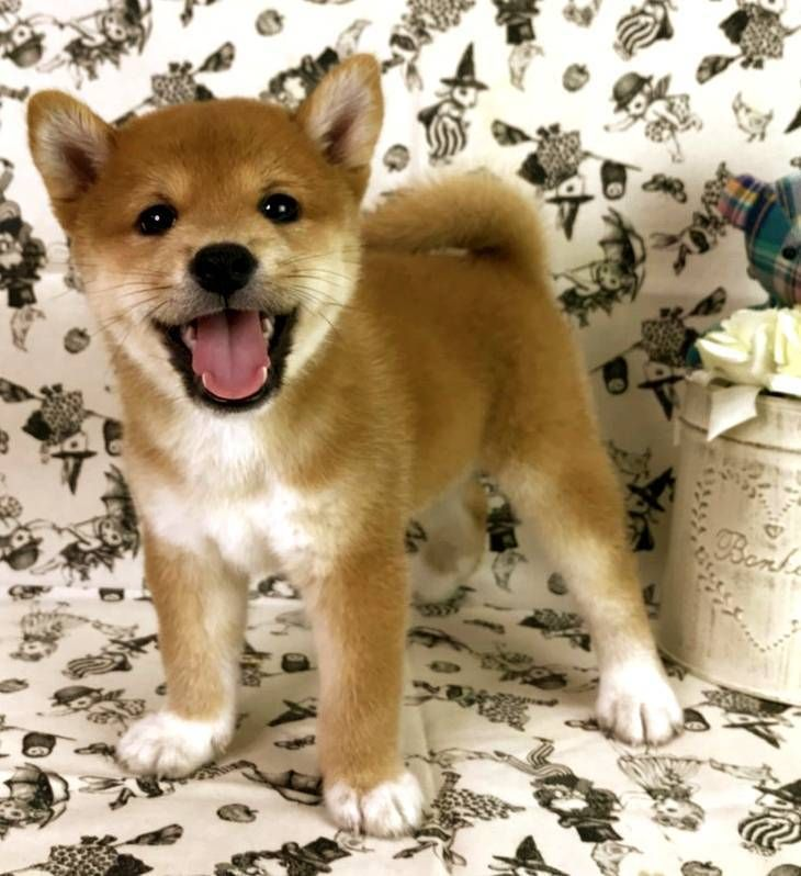 Park Art|My WordPress Blog_Shiba Inu Puppies For Sale Northern California